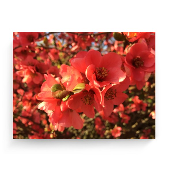 Photo Canvas 4:3 s potiskem Quince